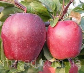 Яблоня Глостер(сладкий,среднерослый), фото 2