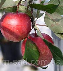 Яблуня Глостер(солодкий), фото 3