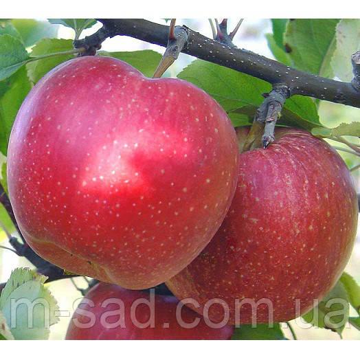 Яблуня Гала Маст(,солодкий,середньо рослий)