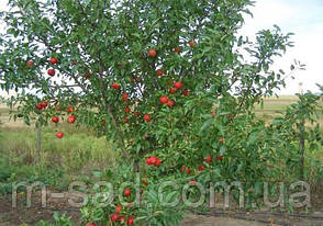 Яблуня Гала Маст(,солодкий,середньо рослий), фото 2