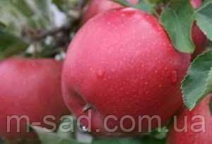 Яблоня Дискавери (ранний сорт,скороплодный,сладкий)2х летка