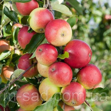 Яблоня Дискавери (ранний сорт,скороплодный,сладкий)2х летка, фото 2