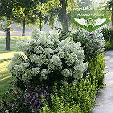Hydrangea paniculata 'Bobo', Гортензія волотиста 'Бобо',C2 - горщик 2л