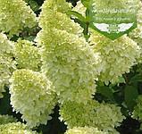 Hydrangea paniculata 'Magical Candle', Гортензія волотиста 'Меджікел Кендл',C5 - горщик 5л, фото 9