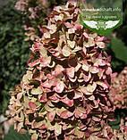 Hydrangea paniculata 'Magical Candle', Гортензія волотиста 'Меджікел Кендл',C25 - горщик 20-25л, фото 10