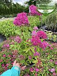 Spiraea japonica 'Anthony Waterer', Спірея японська 'Антоні Ватерер',C2 - горщик 2л, фото 7