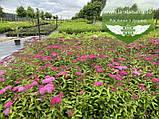 Spiraea japonica 'Anthony Waterer', Спірея японська 'Антоні Ватерер',C2 - горщик 2л, фото 8