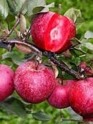 Яблуня з червоною м'якоттю Бая Маріса (ексклюзив,зимовий сорт)