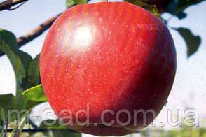 Яблоня  Лигол(скороплодный,сладкий,средне рослый) 2х летка, фото 3
