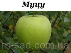 Яблоня Мутсу(зимний,кисло-сладкий,средне рослый)