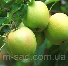 Яблоня Мутсу(зимний,кисло-сладкий,средне рослый), фото 3