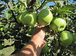 Яблоня Мутсу(зимний,кисло-сладкий,средне рослый), фото 2