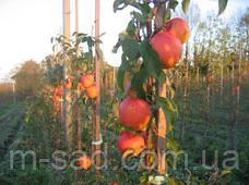 Яблоня Пинова(скороплодный,сладкий,урожайный)2х леткаетка, фото 3
