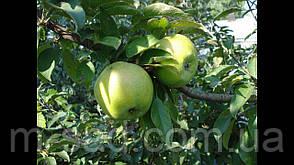 Саджанці яблуні Симиренко(зимовий сорт)2х льотка, фото 3