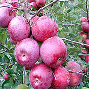 Яблоня Флорина(зимний,средне рослый,сладкий) 2х летка