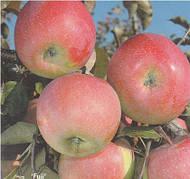 Яблоня Фуджи Кику 8(зимний,крупноплодный,сладкий медовый)