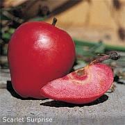 Яблуня Скарлет Сюрпрайз ( ексклюзив,плоди з червоною м'якоттю)2х льотка