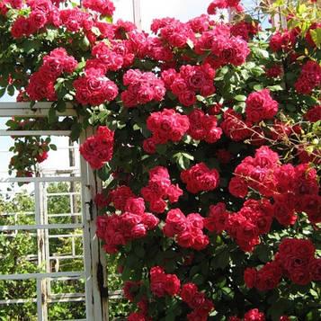 Роза Belfast