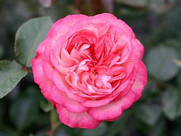 Роза Antike 89