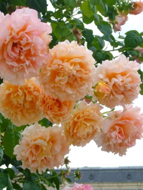 Роза Full Moon