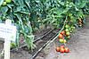 Семена томата Абелус (Abellus RZ) F1, 1000 семян