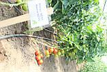 Семена томата Абелус (Abellus RZ) F1, 1000 семян, фото 2