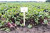 Семена свеклы Акела (Akela RZ), 25 тыс.семян
