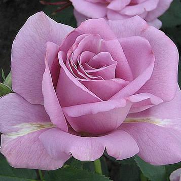 Роза Blue Nile
