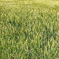 Пшениця Лінус озима 1 репродукція середньостигла високоінтенсивний сорт, упаковка мішек 40 кг