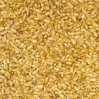 Пшениця Лінус озима 1 репродукція середньостигла високоінтенсивний сорт, весом от 1 кг