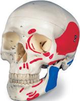 Классическая модель черепа раскрашенная 3 части.