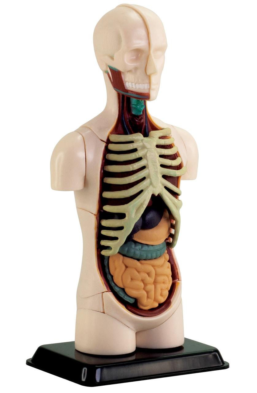 Анатомічна модель збірна Тулуб торс людини, 12,7 см Edu-Toys (SK008)