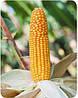 Семена кукурузы Лотар