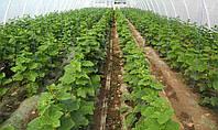 Огурцы в теплицах: как получить хороший урожай