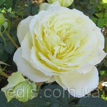 Роза плетистая английская Эльф (Elfe)