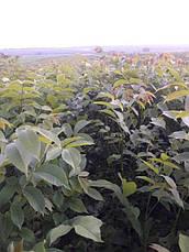 Волоський горіх Буковинський-1 (2х річний), фото 3