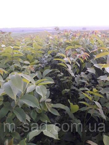 Волоський горіх Чернівецький(дворічний)тонкокорый, фото 2