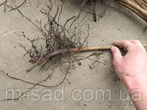 Фундук Барселонський (відводки 2 роки)середньо ранній,крупно плодовий, фото 3