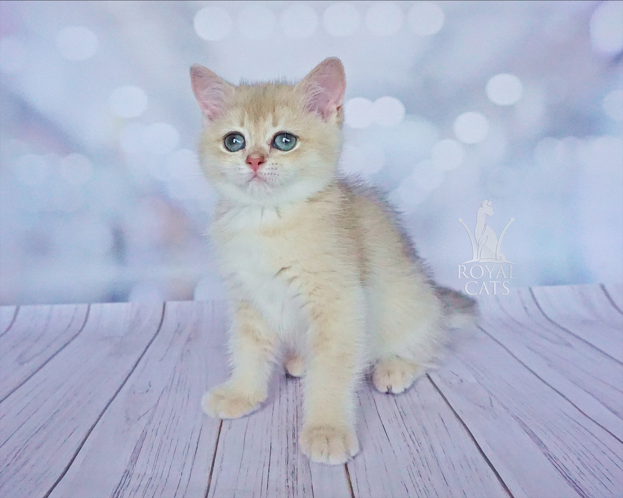 Кошечка шотландская прямоухая шиншилла, рождена 13.05.2020 в питомнике Royal Cats. Украина, Киев