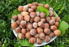 Фундук Трапезунд (отводки 1год)вкусный,урожайный,морозоустойчивый, фото 2