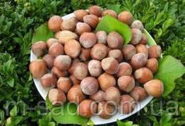 Фундук Трапезунд (отводки 2года)вкусный,урожайный,морозоустойчивый