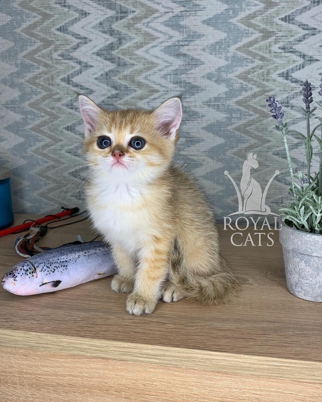 Кошечка шотландская прямоухая шиншилла, рожден 13.05.2020 в питомнике Royal Cats. Украина, Киев