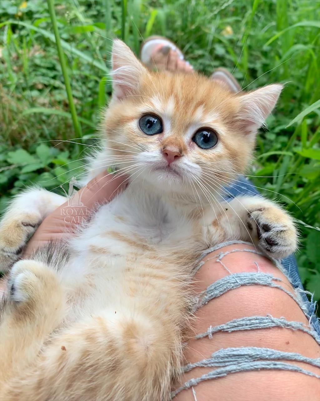 Котик шотландская прямоухая шиншилла, рожден 13.05.2020 в питомнике Royal Cats. Украина, Киев
