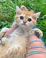 Котик шотландская прямоухая шиншилла, рожден 13.05.2020 в питомнике Royal Cats. Украина, Киев, фото 1