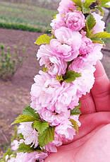 """Мигдаль цвіте рожевий""""Луїзіанія Трилопатева"""", фото 2"""