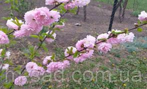 "Миндаль ""Цветущий Розовый"" на штамбе, фото 2"