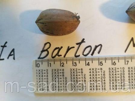 Пекан Бартон (однолетний), фото 2