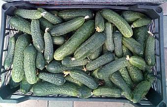 Грунтовые огурцы — до глубокой осени! 5 шагов для продления плодоношения | Советы экспертов Айдамин