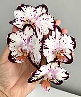 """Орхидея, горшок 2.5"""" без цветов. Ever Spring Prince (т.н. Легенда) color instability, фото 1"""