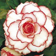 Бегония  Amerihybrid Picotee White Pink